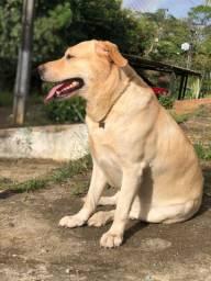 Procuro Namorada Labrador Retriever