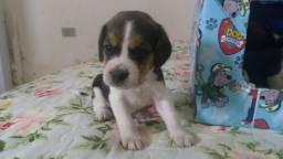 Beagle mini, a pronta entrega ? Whats (11)96425-8014
