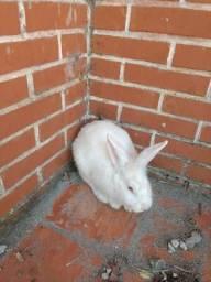 Vende-se coelhos adultos