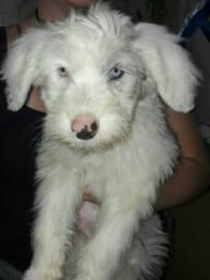 Sheepdog olhos azuis
