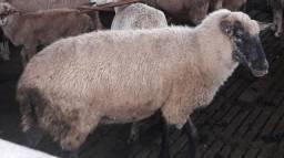 Vendo carneira prenha