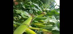 Produção milho verde