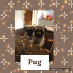 Pug com pedigree e microchip em até 18x