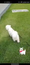 Poodle Dom procura namorada