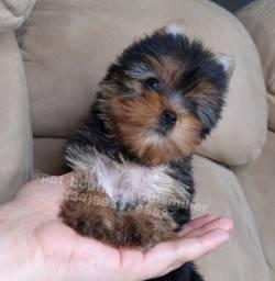 Yorkshire terrier Fêmea disponível