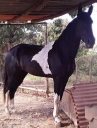 Título do anúncio: Cavalo campolina