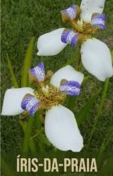 Vendo muda dessa linda planta