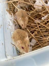 Título do anúncio: 5 hamsters anão russo já com alojamento