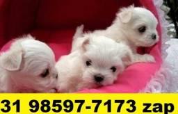 Canil Filhotes Top Cães BH Maltês Lhasa Poodle Shihtzu Yorkshire Pug Bulldog
