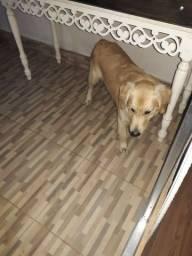 Cachorro Golden retrevier de 11 meses