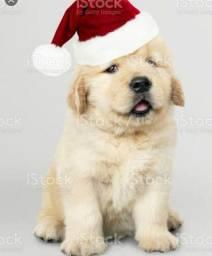 Procuro cachorro golden retriver para comprar
