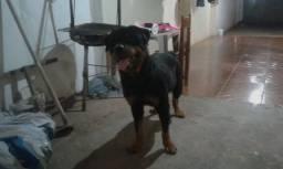 Filhote de Rottweiler com pitbull com 01 mes 10 dias de vida!