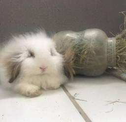 Vendo mini coelhos fuzzy lop