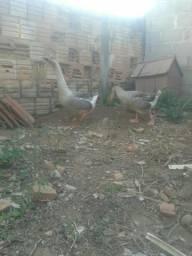 Casal ganso africano