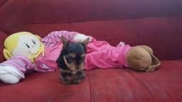Macho de Yorkshire Terrier micro