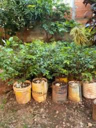 Mudas e plantas Ornamentais