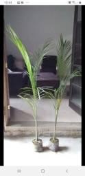 Mudas de palmeira 20 reais