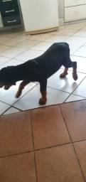 Vendo cachorro macho Rottweiler