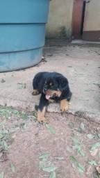 Cão da raça rottweiler está na cidade de Catanduva