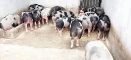 Porcos 4 pernil  de mais ou menos 4@