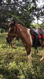 Cavalo piquira pampa