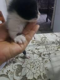 Título do anúncio: Filhote de gato preto e branco!