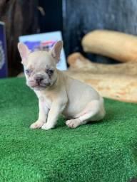 Mini Bulldog Frances Lilac merle