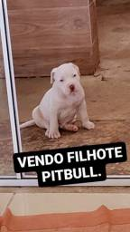 Filhote de pitbull