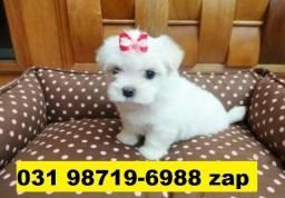 Canil Filhotes Cães Lindíssimos BH Maltês Shihtzu Lhasa Yorkshire Bulldog Pug