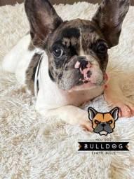 Bulldogue francês fêmea merle