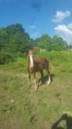 Cavalo 4 anos