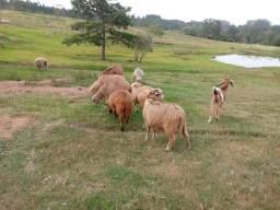Lote de ovelha e um carneiro reprodutor