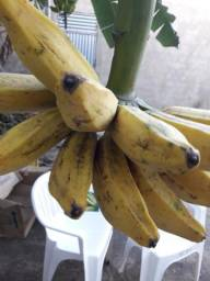 Banana casca grossa