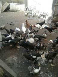 Vendo 25 patos