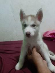 Vende-se filhotes de Husky siberiano