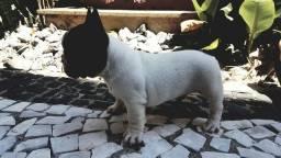 Bulldog Francês (linhagem Russa)