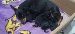 Lindos  filhotes de pischer n 1 Coloque assim: lindos filhotes de pinscher n 1