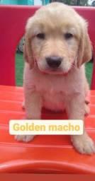 Golden Macho