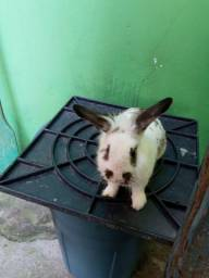 Mini-coelhos