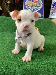 American Bully Micro Pied