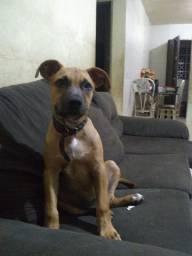 Vendo cachorro Pitbull 800 a 700