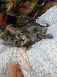 Filhote de Gato fêmea