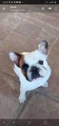 Bulldog Frances Macho para inseminação