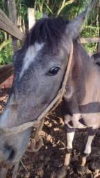 Cavalo turdio negro