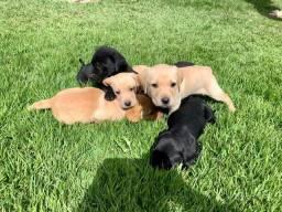 Filhotes de Labrador - 02 meses !