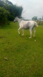 Linda egua opampa de tordilh