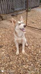 Husky Siberiano femia 6 meses