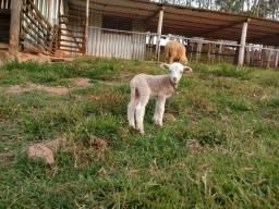 Ovelha com filhote (Macho)