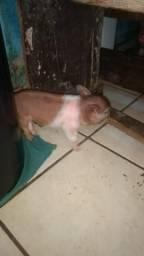 Filhotes de mini pigs