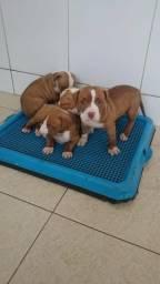 Filhotes American Pit Bull Terrier - Leiam a Descrição- Valor referente a RESERVA